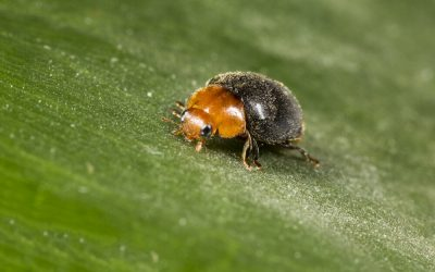 How to control mealybugs in your vineyard (Part 2)