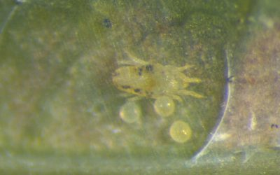 How California Avocado Growers Keep Persea Mites from Ruining the Super Bowl