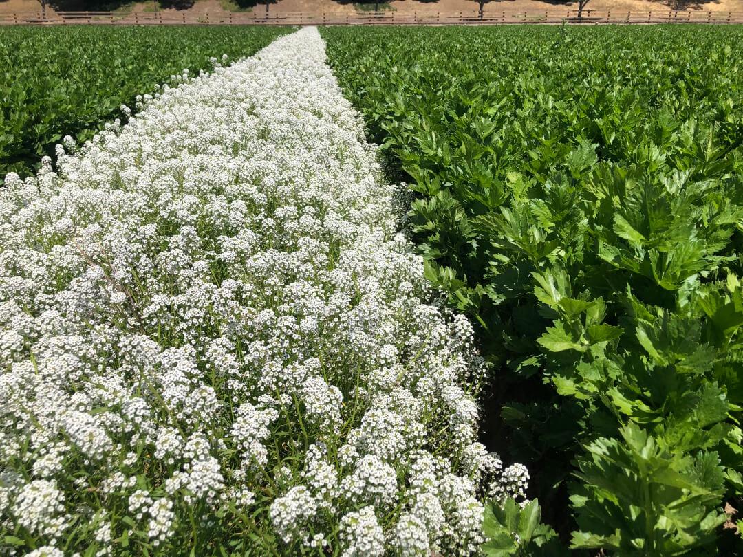 A sweet alyssum strip in an organic celery field