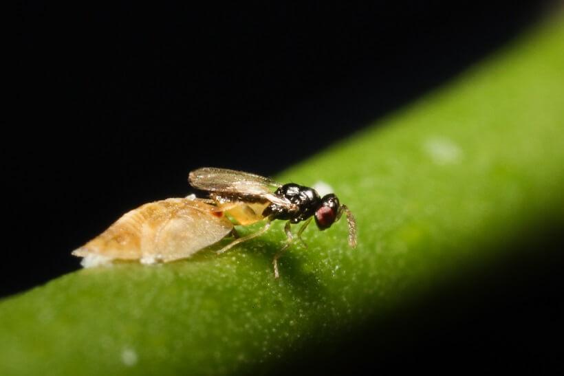 Tamarixia radiata parasitizing an Asian citrus psyllid nymph