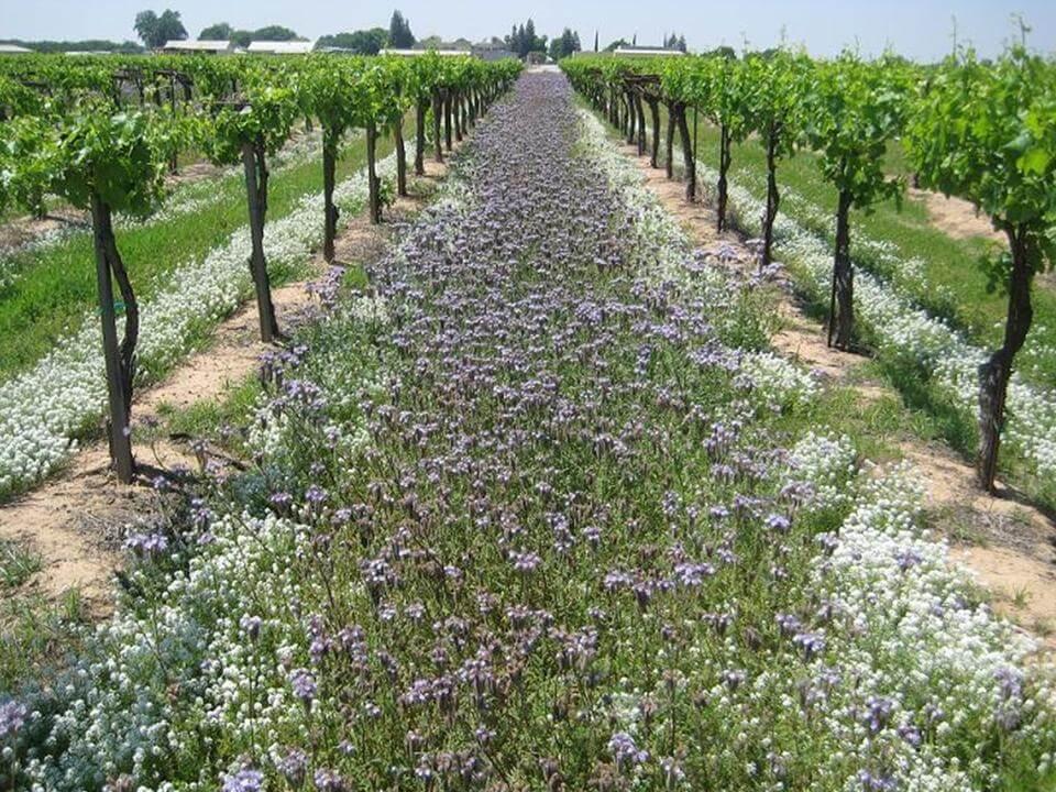 Phacelia and sweet alyssum cover crop in a vineyard