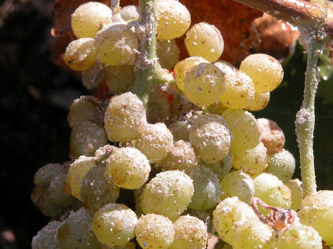 Vine mealybug infestation on a grape cluster