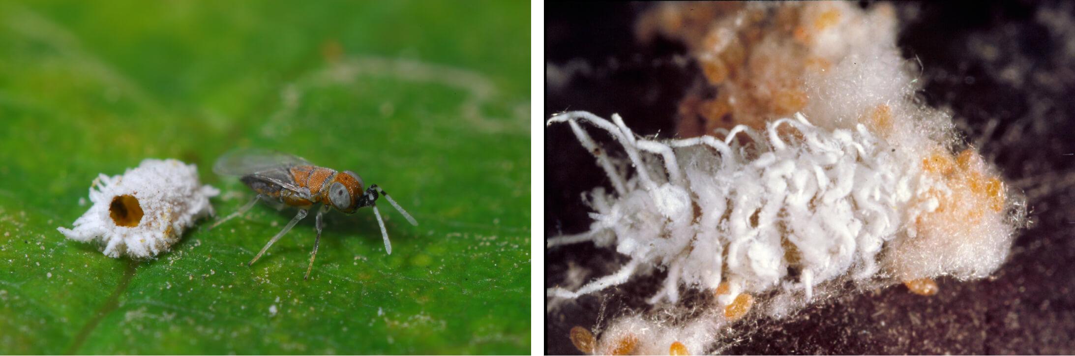 Mark Hoddle in Pakistan collecting Tamarixia radiata, a natural enemy of Asian citrus psyllid, Diaphorina citri.