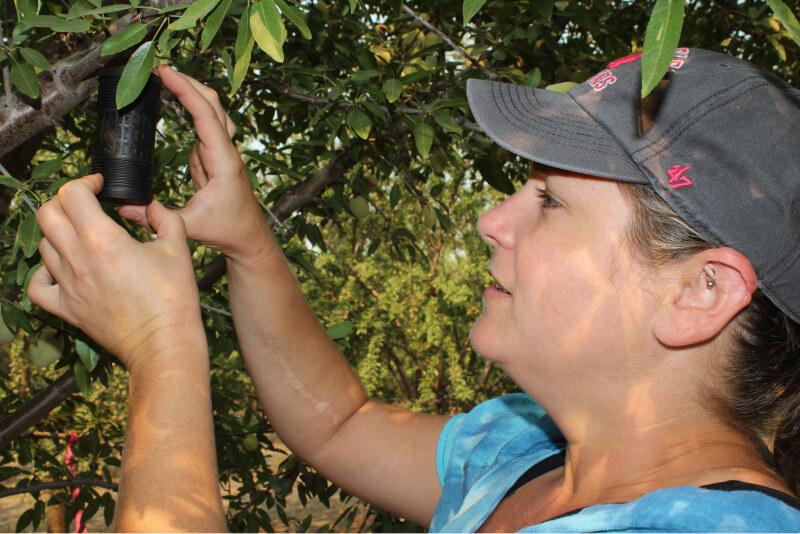 Emily checking a Navel Orange Worm egg trap